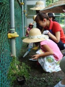 穴にハーブの苗を植えます。